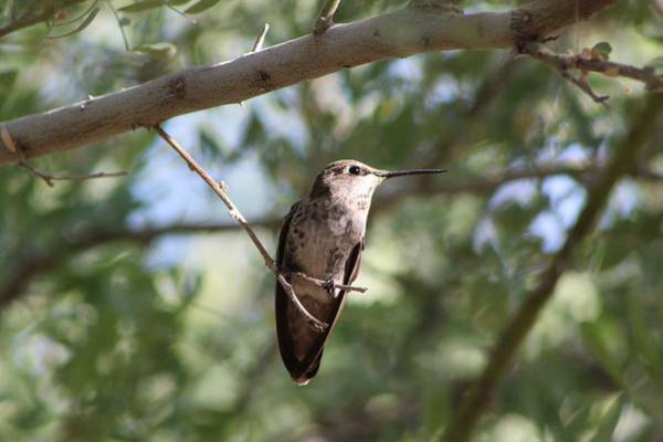 Wall Art - Photograph - Hummingbird Portrait by Monica Donaldson Stewart