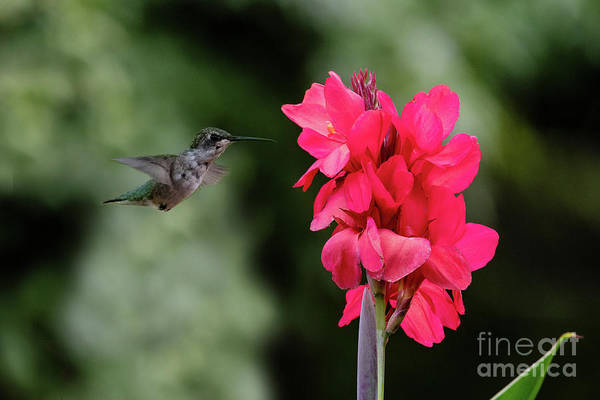 Photograph - Hummingbird Red by Ed Taylor