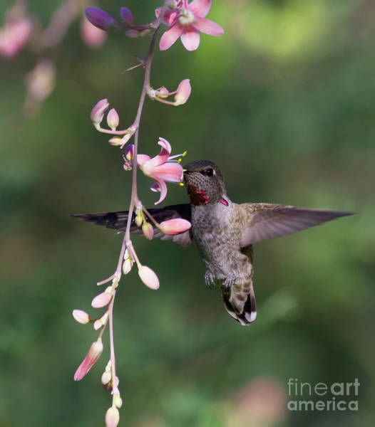 Wall Art - Photograph - Hummingbird Showing Off His Wings by Ruth Jolly