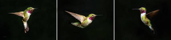 Photograph - Hummingbird Triptych by Judi Dressler