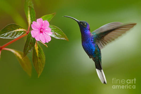 Forest Bird Photograph - Hummingbird Violet Sabrewing Flying by Ondrej Prosicky