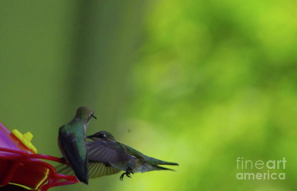 Wall Art - Photograph - Hummingbirds At The Sugar Watering Hole by Jeff Swan