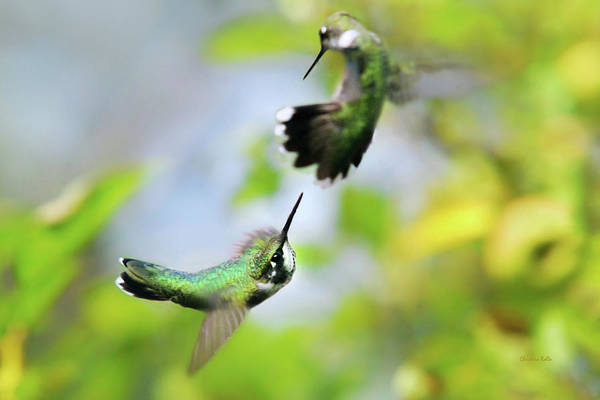 Hummingbird Wings Photograph - Hummingbirds Ensuing Battle by Christina Rollo
