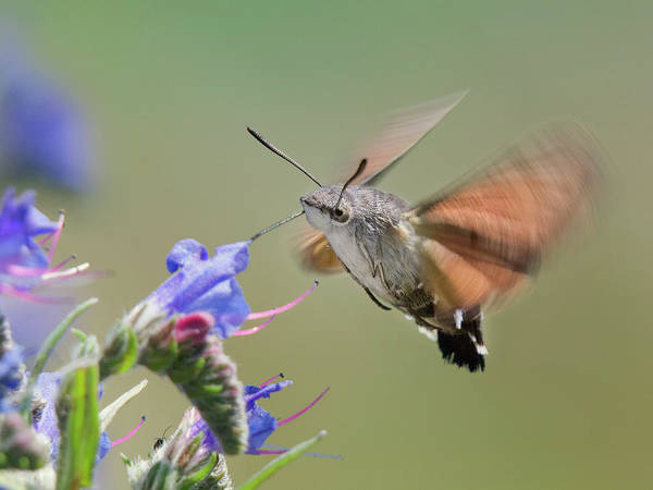 Insect Photograph - Hummingmoth by By Mediotuerto