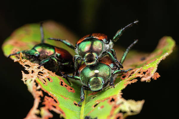 Photograph - Hump Day Beetles by Brian Hale