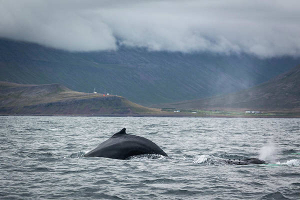 Photograph - Humpback 1 by Raelene Goddard