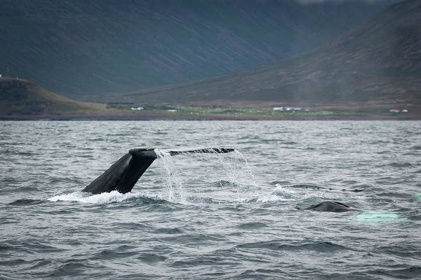 Photograph - Humpback 2 by Raelene Goddard