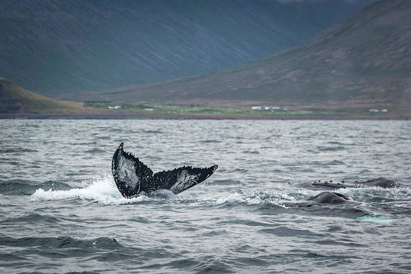 Photograph - Humpback 3 by Raelene Goddard
