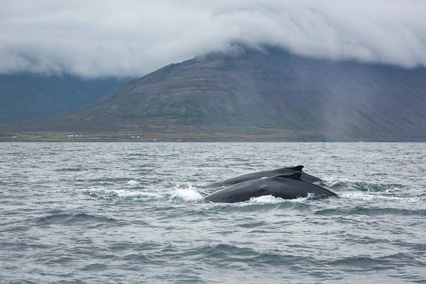 Photograph - Humpback 6 by Raelene Goddard