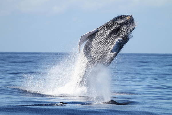 Taking Off Photograph - Humpback Breach by Adwalsh