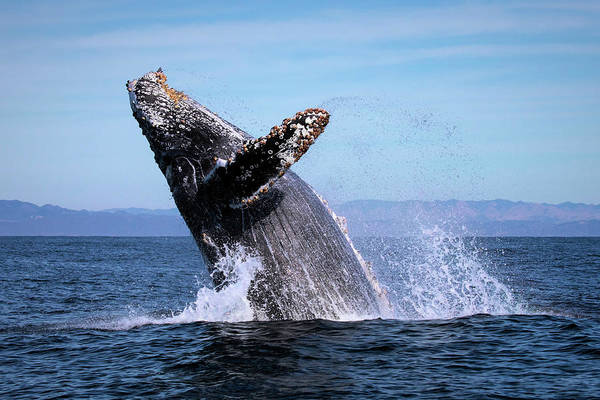 Photograph - Humpback Breaching - 01 by Cheryl Strahl