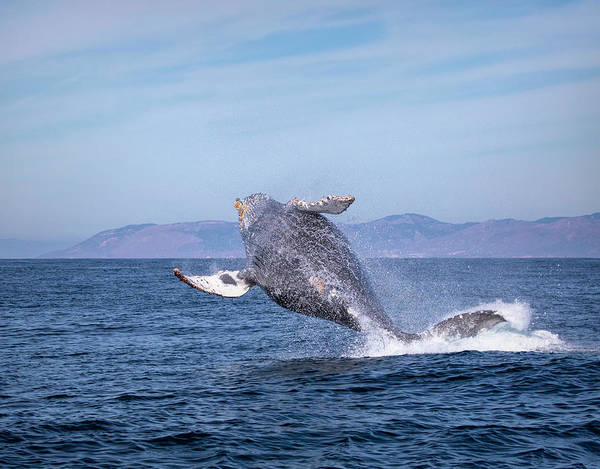 Photograph - Humpback Breaching - 03 by Cheryl Strahl