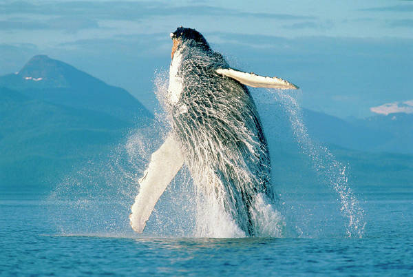 Wall Art - Photograph - Humpback Whale Breaching In Alaska by Stuart Westmorland