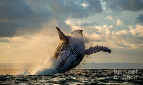 Wall Art - Photograph - Humpback Whale Jump At Sunset Against A by Gudkov Andrey