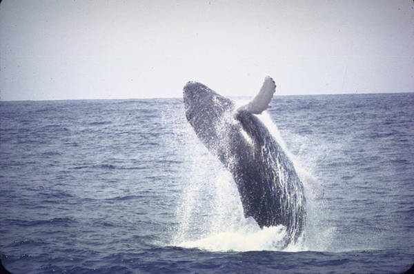 Bermuda Photograph - Humpback Whale Leaping Out Of Water Near by John Dominis
