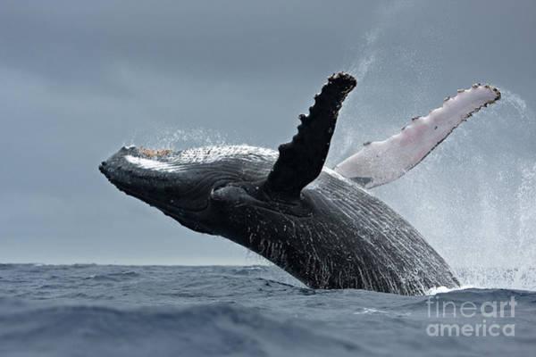 Wall Art - Photograph - Humpback Whale, Megaptera Novaeangliae by Martin Prochazkacz