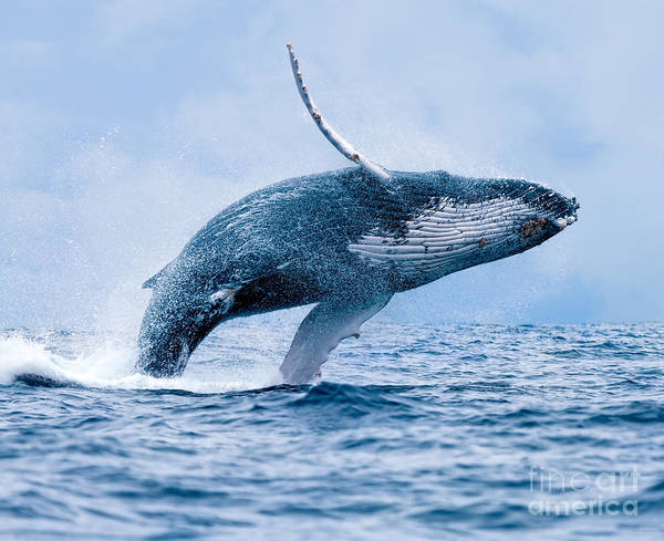 Wall Art - Photograph - Humpback Whale Megaptera Novaeangliae by Paul S. Wolf