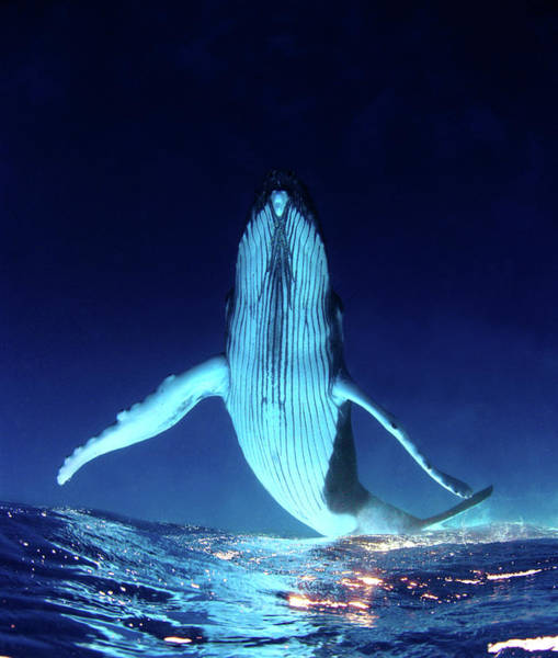 Undersea Photograph - Humpback Whale  Underwater by Kate Westaway