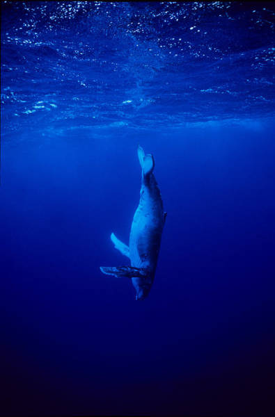 Underwater Diving Photograph - Humpback Whale,megaptera Novaeangliae by Gerard Soury