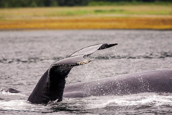 Chatham Photograph - Humpback Whales, Chatham Strait by Stuart Westmorland