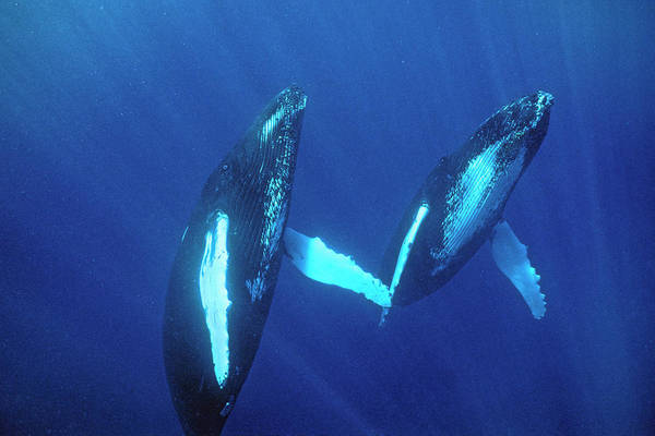 Dominican Republic Photograph - Humpback Whales by Nature/uig