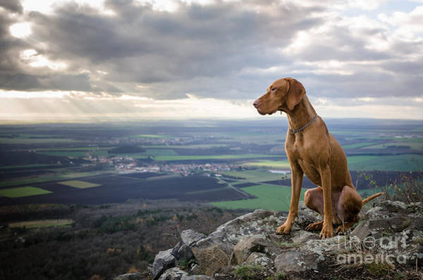 Sightseeing Wall Art - Photograph - Hungarian Pointer Dog by Tmart