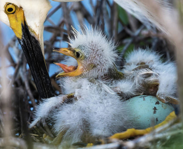 Photograph - Hungrey Baby Egret by Jeffrey Klug