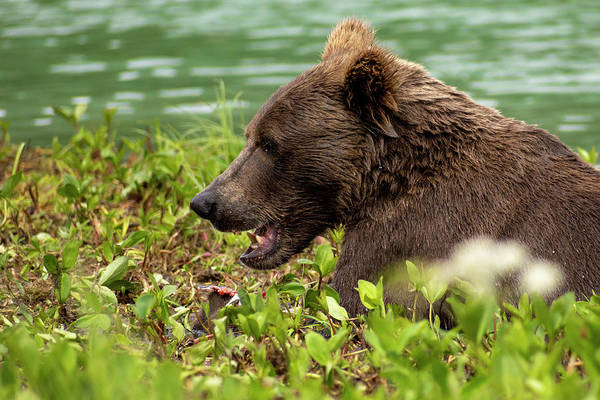 Pacific Northwest Photograph - Hungry Bear by Chad Dutson
