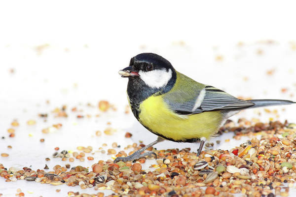 Sunflower Seeds Photograph - Hungry Bird by Marceltb