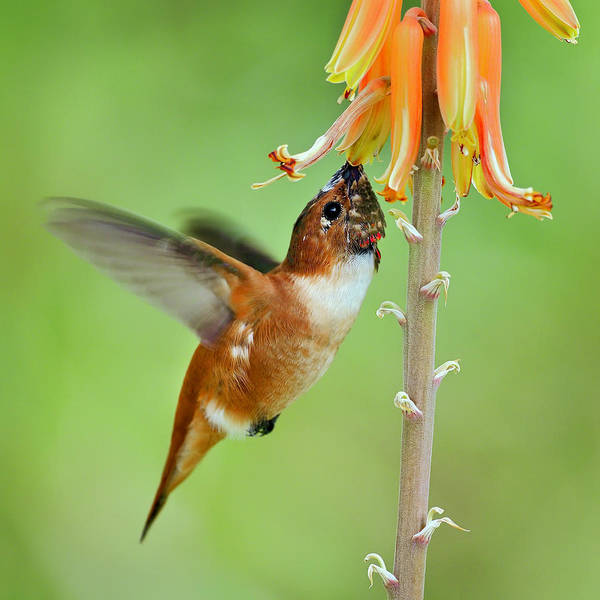 Photograph - Hungry Hummer by Scott Bourne