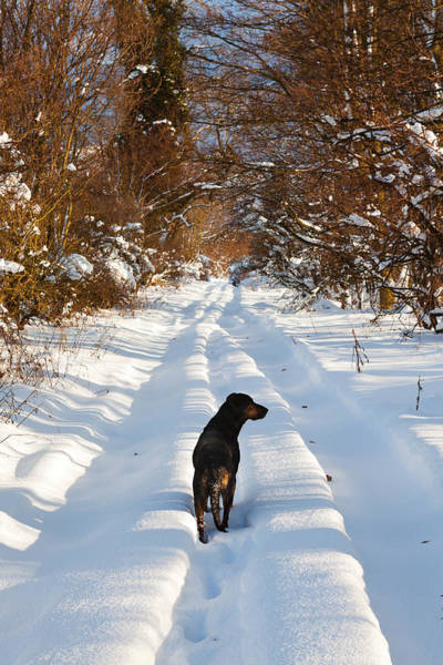 Photograph - Huntaway Dog Walking On Snow by Maggie McCall