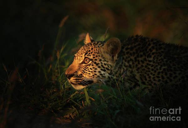 Hiding Photograph - Hunting Leopard Panthera Pardus by Rudi Hulshof