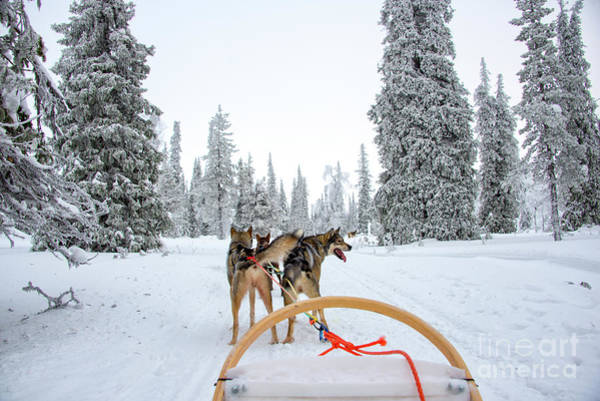 Wall Art - Photograph - Husky Sledding by Delphimages Photo Creations
