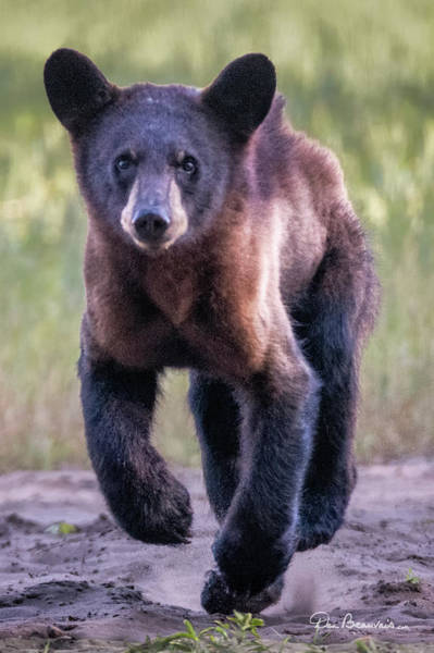 Photograph - Hustling Cub 3626 by Dan Beauvais