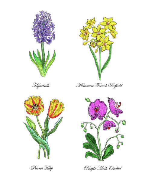 Wall Art - Painting - Hyacinth Daffodil Tulip Orchid Botanical Watercolor  by Irina Sztukowski
