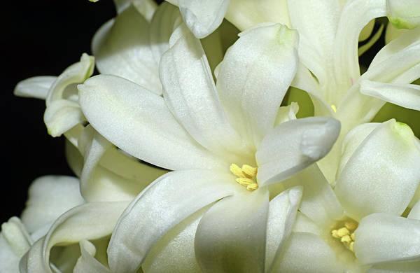Photograph - Hyacinth by Larah McElroy