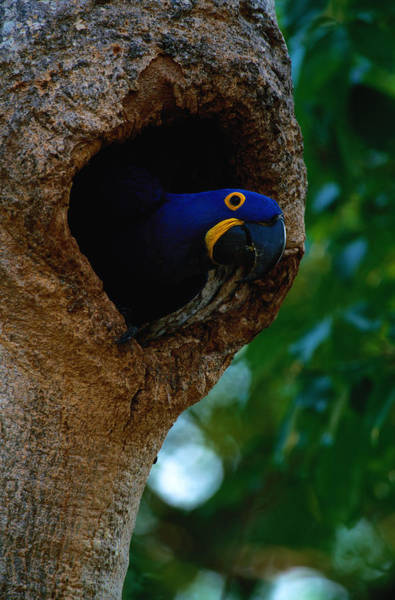 Macaw Photograph - Hyacinth Macaw Anodorhynchus Hyacinthus by Art Wolfe
