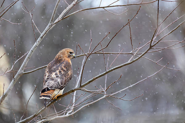 Photograph - Hybrid Hawk In Snow 2 by Brian Hale