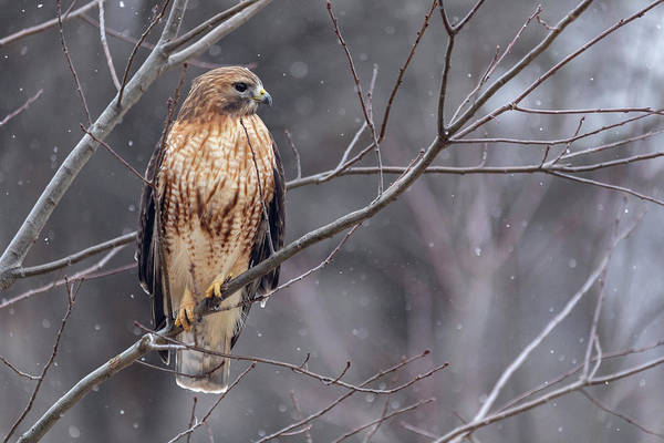 Photograph - Hybrid Hawk In The Snow 1 by Brian Hale