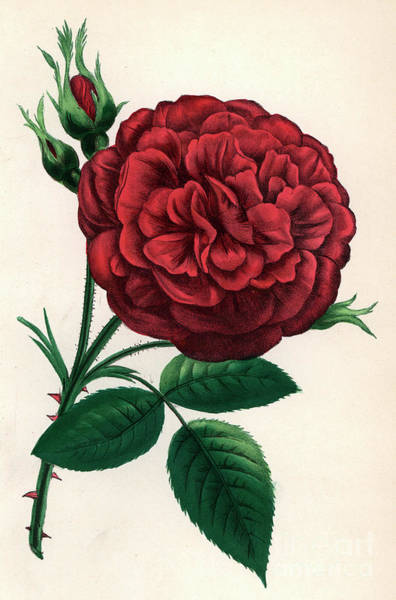 Wall Art - Painting - Hybrid Rose by Francois Frederic Grobon