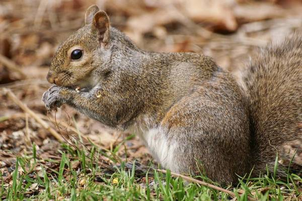 Photograph - Hybrid Squirrel by Don Northup