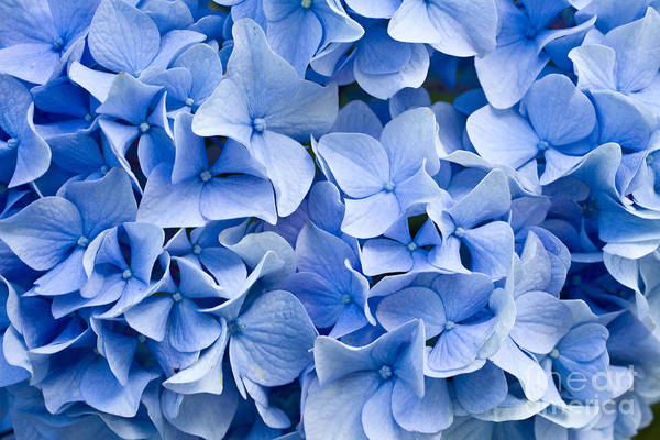 Wall Art - Photograph - Hydrangea by Dwph