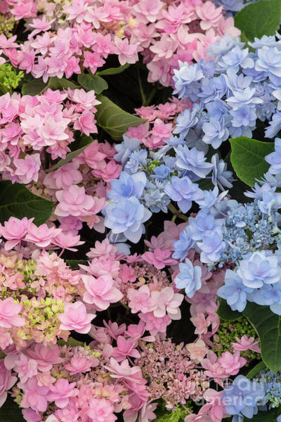 Wall Art - Photograph - hydrangea macrophylla Romance Pink and Blue Flowers by Tim Gainey