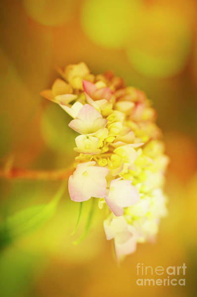 Photograph - Hydrangea by Scott Kemper