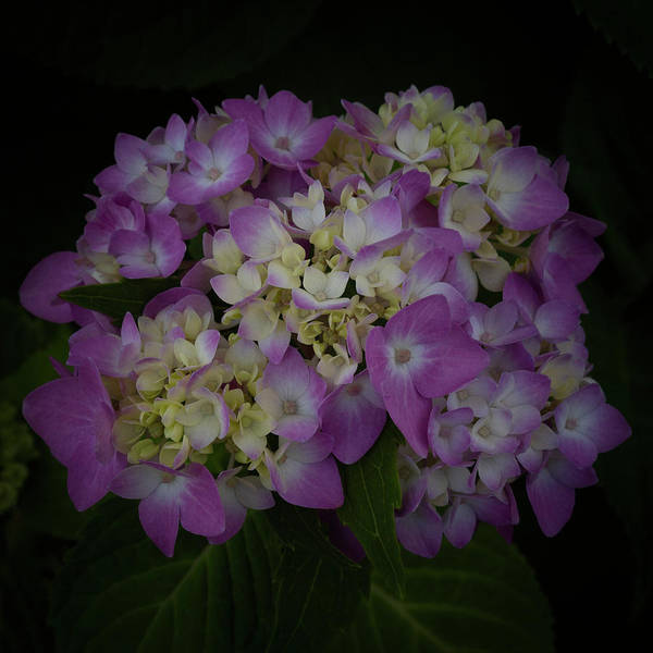 Wall Art - Photograph - Hydrangeas Opening by Denise Harty