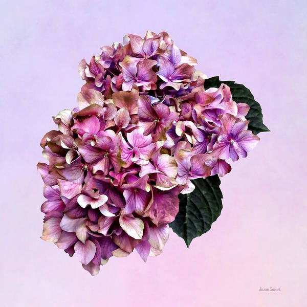 Photograph - Hydrangeas - Pink And Purple Hydrangea by Susan Savad
