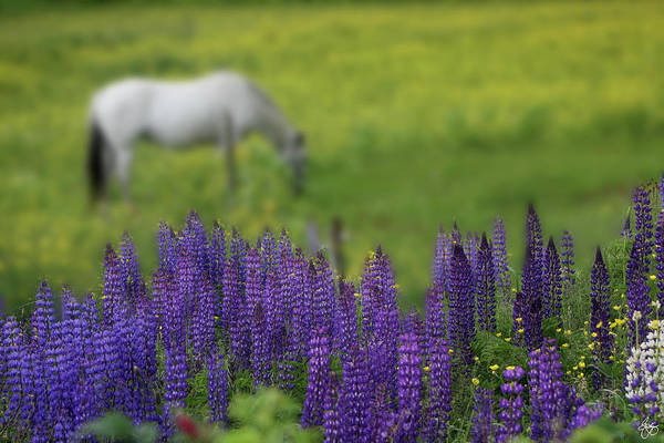 Photograph - I Dreamed A Horse Among Lupine by Wayne King