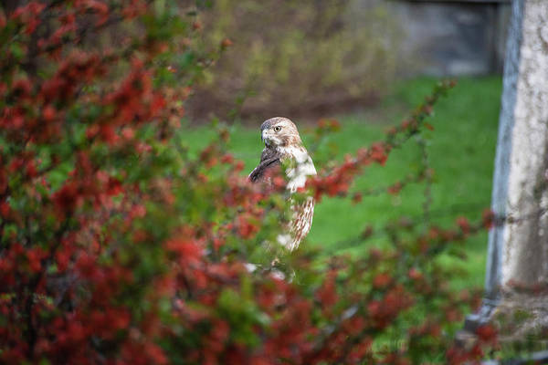 Wall Art - Photograph - I See You. Mount Auburn Cemetery Hawk Cambridge Ma by Toby McGuire