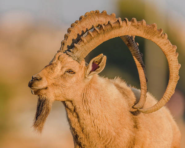 Wall Art - Photograph - Ibex Buck Close Up by Morris Finkelstein