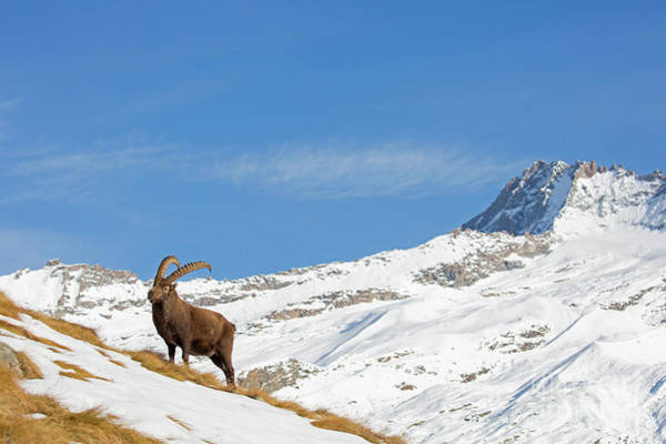 Photograph - Ibex In The Alps by Arterra Picture Library